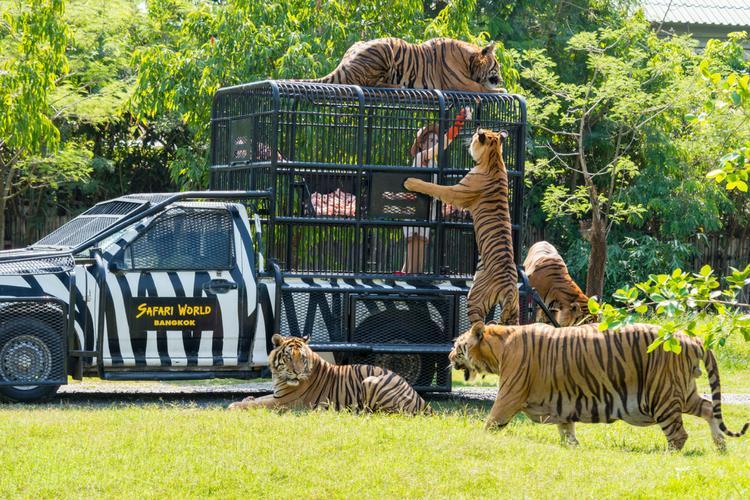 Tigers at Safari World Zoo, Chiang Mai